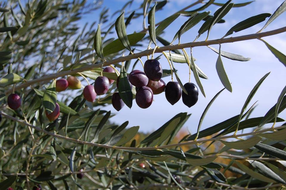 Les vertus miracles de la feuille d'olivier