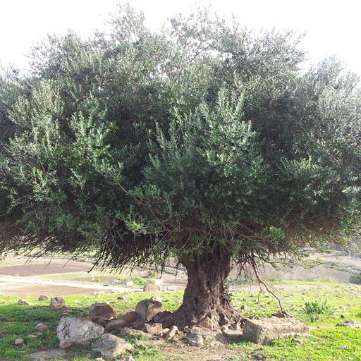 Les nombreux bienfaits de la feuille d 39 olivier sur la sant - Mon olivier perd ses feuilles ...